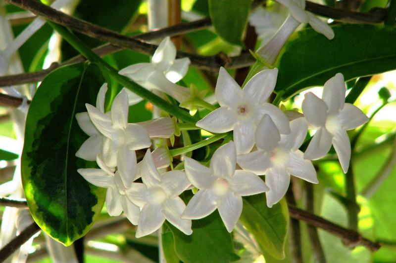 vencovec kvetnaty izbova popinava rastlina
